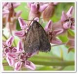 Litter Moths (Family: Erebidae, Subfamily Hermeniinae) 8322 to 8398