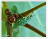 Green weevil (Polydrusus formosus)