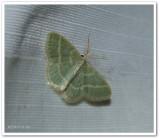 Blackberry looper moth (Chlorochlamys chloroleucaria), #7071