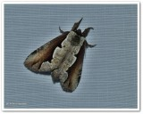 Double-toothed prominent moth  (Nerice bidentata), #7929