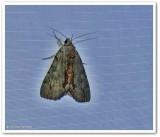 Woody underwing  moth (Catocala grynea), # 8864