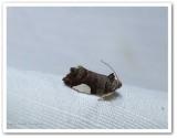 White-spotted hedya moth (Hedya chionosema), #2863