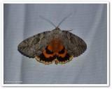 The bride underwing moth (Catocala neogama), #8798