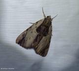 Ultronia underwing moth (Catocala ultronia), #8857