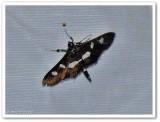 Grape leaffolder/leafroller moth (Desmia funeralis/maculalis) group
