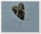 Pink-barred Pseudeustrotia moth  (Pseudeustrotia carneola), #9053