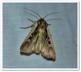 Western bean cutworm moth (Striacosta albicosta), #10878