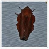 Lappet moth  (Phyllodesma americana), #7687