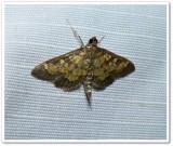 Darker diacme moth (Diacme adipaloides), #5143