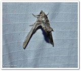 Dark marathyssa  (Marathyssa inficita), #8955