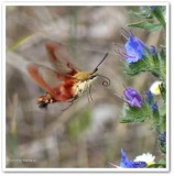 Hummingbird moth (Hemaris thysbe), #7853