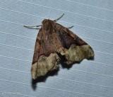 Honest pero moth (Pero honestaria), #6753