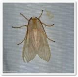 Banded tussock moth (Halysidota tessellaris), #8203