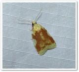 Aproned cenopis moth (Cenopis niveana), #3727