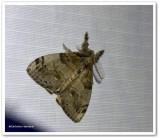 White-marked tussock moth, male  (Orgyia leucostigma), #8316