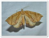 Grapevine looper moth(Eulithis diversilineata or gracilineata)