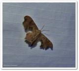 brown scoopwing  (Calledapteryx dryopterata), #7653