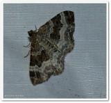 white-banded toothed carpet (Epirrhoe alternata), #7394