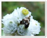 Metalmark moth (Tebenna onustana), #2648