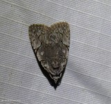 Many-dotted appleworm moth (Balsa malana), #9662