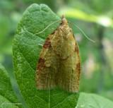 Chokecherry leafroller moth (Cenopis directana), #3722
