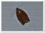 Hickory leafroller (Argyrotaenia juglandana), #3622