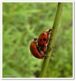 Asian lady beetles (Harmonia axyridis), mating  pair