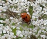 Variegated lady beetle (Hippodamia variegata)