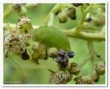 Summer azure butterfly larva (Celastrina neglecta)