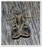 Dingy cutworm moth (Feltia jaculifera) , #10670 ??