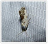 Olive shaded bird-dropping moth (Ponometia candefacta), #9090