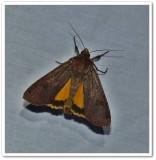 Large yellow underwing (Noctua pronuba), #11003.1