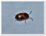 Hairy fungus beetle  (Mycetophagus punctatus)