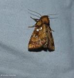 Northern burdock borer moth   (Papaipema arctivorens), #9471