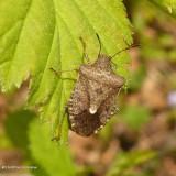 Stinkbug (Euschistus tristigmus)?