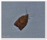 Three-lined leafroller moth (Pandemis limitata), #3594
