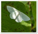 Yellow-dusted cream moth  (Cabera erythemaria), #6677