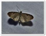 Common pug moth (Eupithecia miserulata), #7474 ?