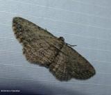 Brown bark carpet moth (Horisme intestinata), #7445