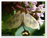 The beggar moth  (Eubaphe mendica), #7440