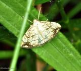 Purple-backed cabbageworm  moth (Evergestis pallidata), #4897