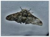 Pepper-and-salt geometer moth, male (Biston betularia), #6640