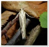 Sod webworm (Pediasia trisecta), #5413 ?