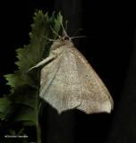 Large maple spanworm moth (Prochoerodes lineola), #6982