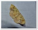 Horned spanworm moth(Nematocampa resistaria), #7010