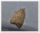 Gold-striped leaftier moth  (Machimia tentoriferella), #0951