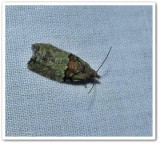 Raspberry leafroller moth  (Epinotia medioviridana), #3286