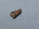 Broad-banded eulogia moth  (Eulogia ochrifrontella), #5999