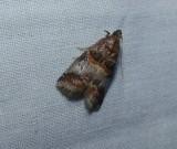 Hickory leafstem borer (Acrobasis angusella), #5673