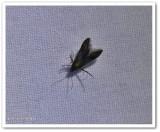 Bristle-legged moth (Schreckensteinia erythriella), #2507 ?